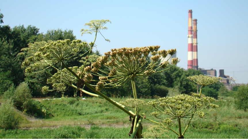 Barszcz Sosnowskiego, w tle kominy elektrociepłowni.