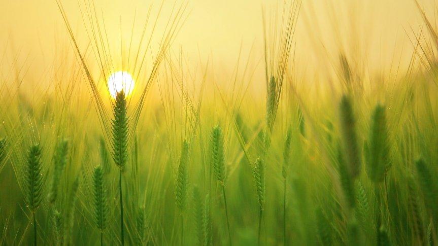 Zielone pole jęczmienia